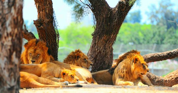 polygamy in lions